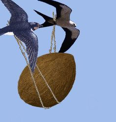 two swallows carrying a coconut