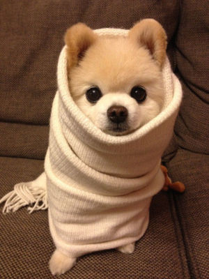 puppy wrapped up like blanket burrito