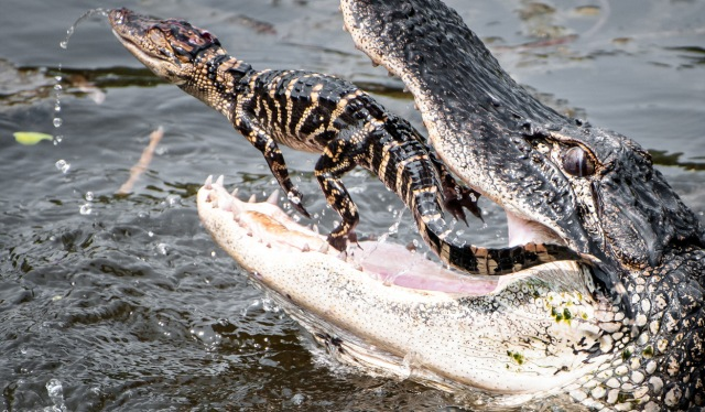 adult alligator eating baby alligator
