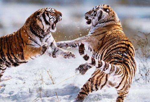 Territorial tiger attack