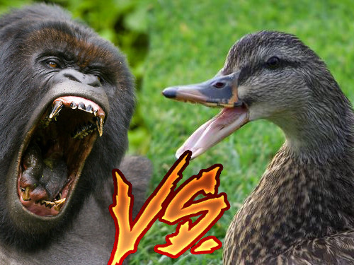 gorilla vs duck