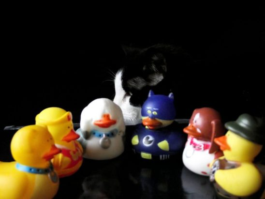 cat threatens duck council