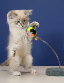 kitten swatting toy