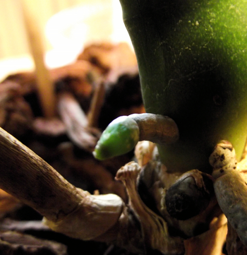 penis-shaped vine