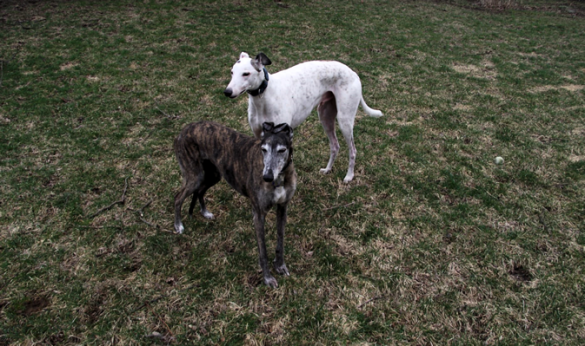 greyhounds in yard
