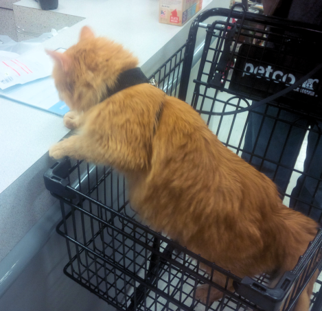 MASSIVE long-haired orange cat climbing out of shopping cart