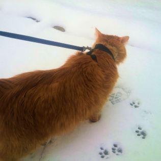 Alexander Hamilton, the miniature lion, walks on leash through snow, leaving GIANT pawprints