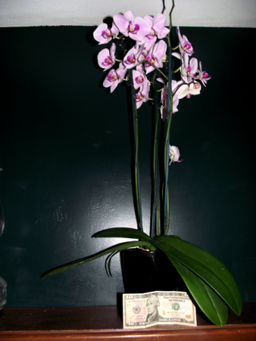healthy beautiful orchid... and a $10 bill