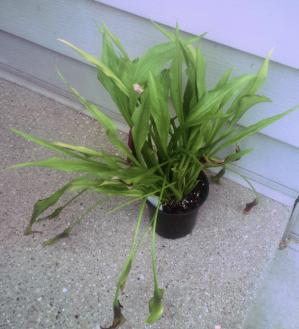 Purple calla lily plant in pot, on doorstep