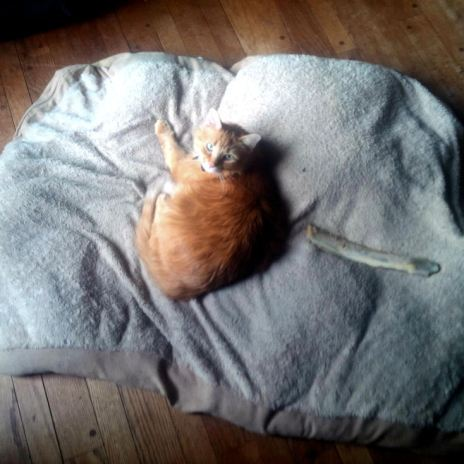 Orange Maine coon mix lounges on giant dog bed meant for 95lb greyhound, claims entire thing. No shame.