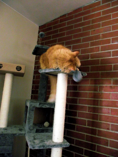 large fluffy orange cat, possibly miniature lion, lounging and playing in tall cat tree