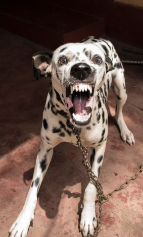 dalmatian lunging toward camera, mouth open and teeth bared