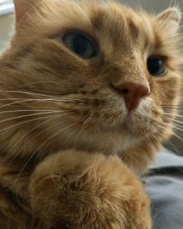 Fluffy orange cat, paw fisted under chin, probably thinking about cuddles