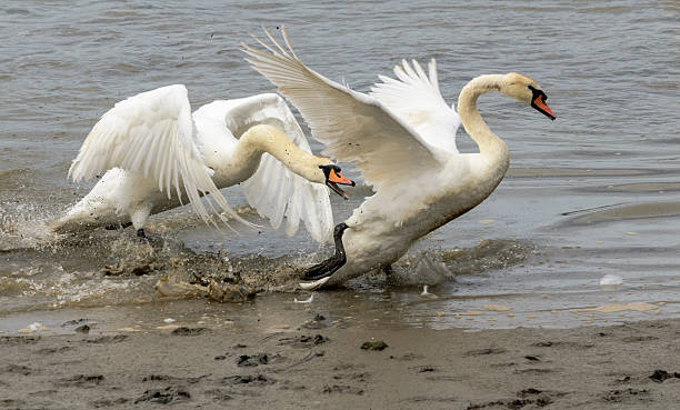 swan fight; one swan chasing another out of the water, biting and flapping at it as it flees