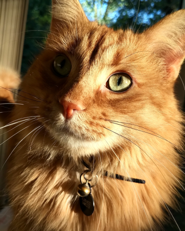 """beauty shot of one fluffy orange cat, possibly a miniature lion; the tag on his collar reads, """"Alexander Hamilton"""" and he is EXCEPTIONALLY handsome."""