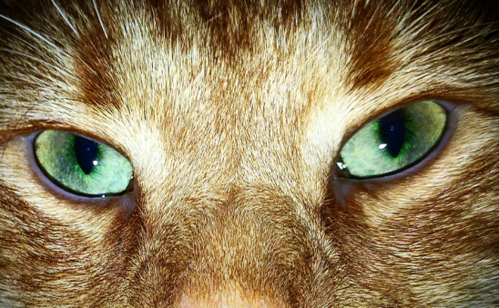 Closeup of the greenish-blue hazel eyes of one fluffy orange cat, possibly a miniature lion.
