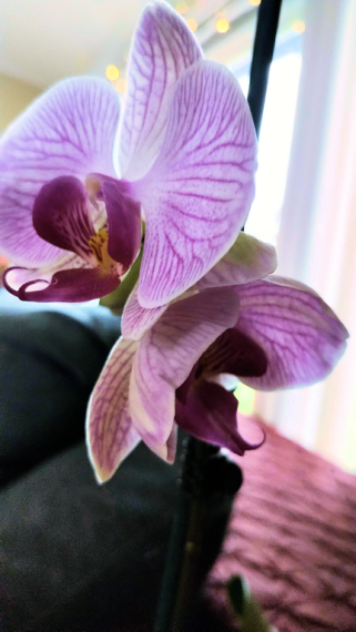 Clara the Orchid with two actual flowers on