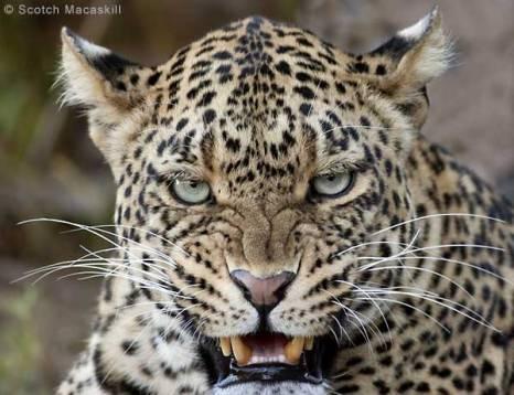 closeup of jaguar, lips peeled back in snarl, eyes locked on camera
