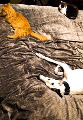 Large greyhound, miniature lion, and some sort of smallish cattish animal hog king size bed