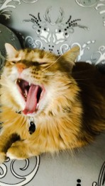 Fluffy orange cat (possibly a small lion?) yawns wide while shedding on chair