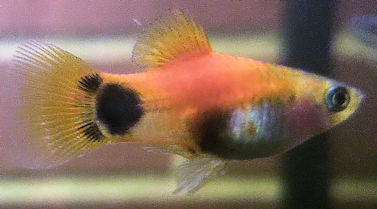 small fish with Hidden Mickey on his tail